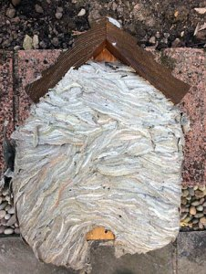 Wasps nest in a bird box.