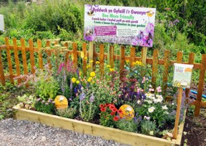 Our pollinator friendly flower bed at the Eisteddfod, Wales